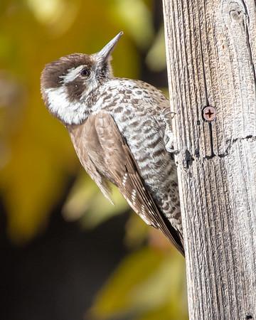 2020-12-13  Arizona Woodpecker