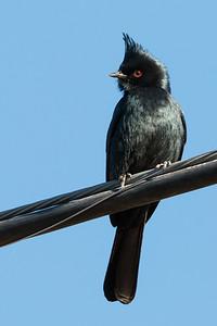 2017-02-04  Phainopepla (male)