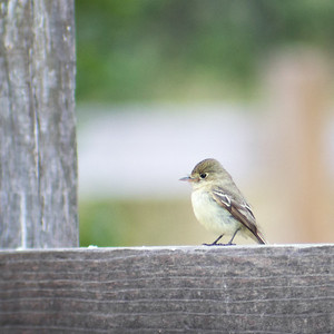 2016-07-06  Pacific-Slope Flycatcher