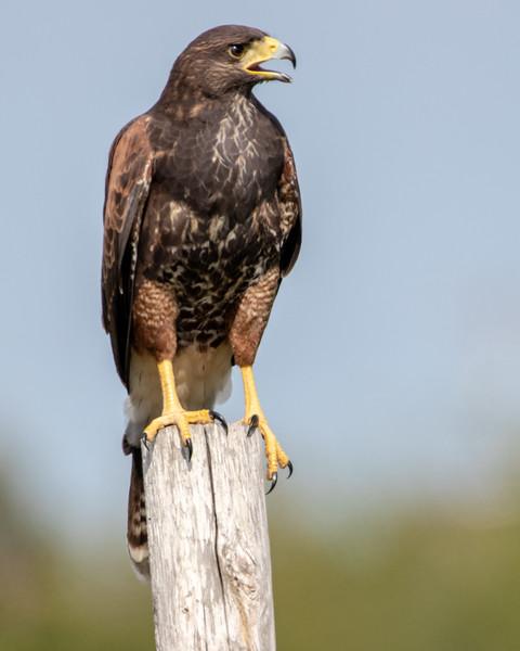 2019-11-11  Harris's Hawk