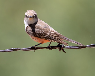 2020-06-07  Vermilion Flycatcher (female)
