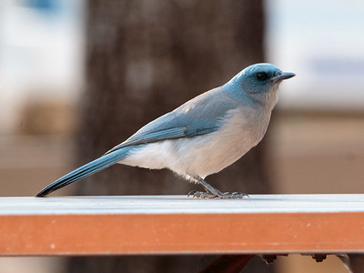 2018-01-27  Mexican Jay