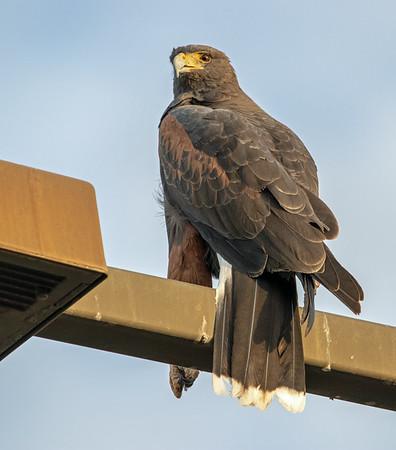 2020-11-02  Harris's Hawk