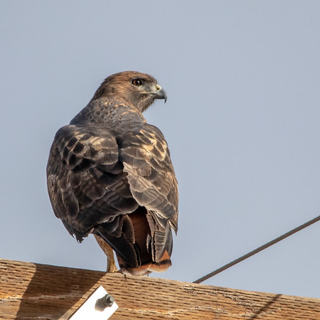 2020-10-31  Red-tailed Hawk