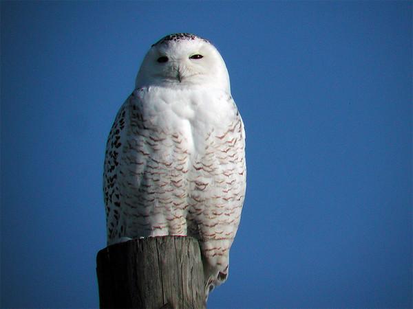 2006-01-28 Snowy Owl