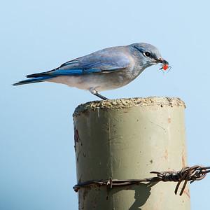 2017-09-16  Mountain Bluebird