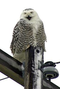 2006-01-07 Snowy Owl