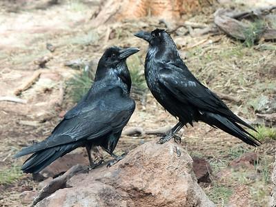 2017-05-07  Common Raven