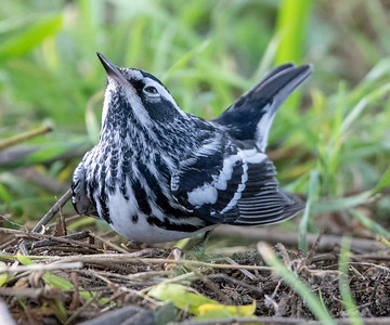 2020-04-19  Black-and-white Warbler