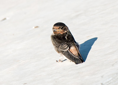 2016-05-15  Cliff Swallow (juvenile)