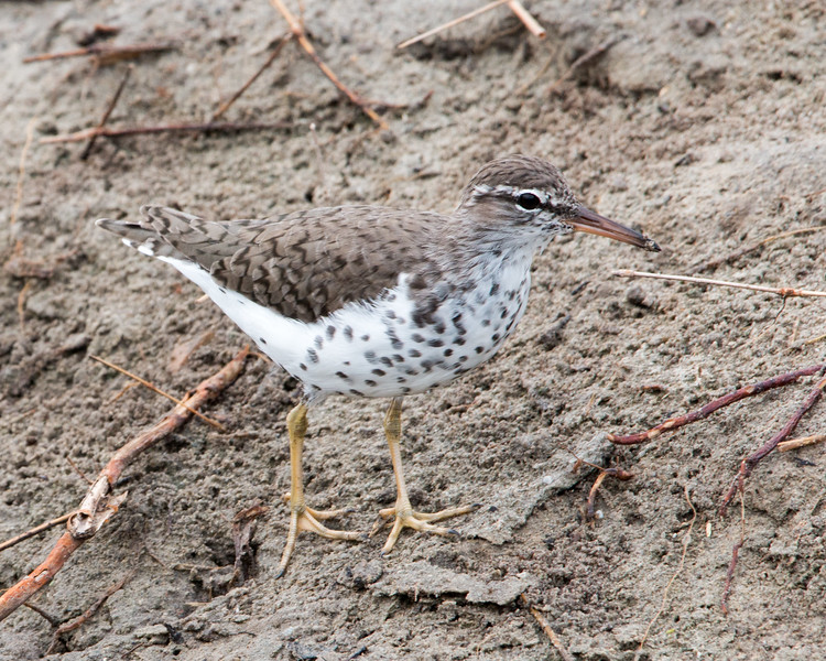 2017-04-12  Spotted Sandpiper