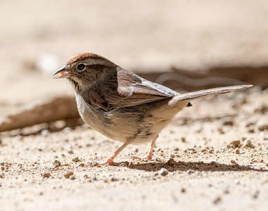 2020-12-13  Rufous-crowned Sparrow