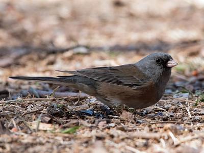 2018-01-28  Dark-eyed Junco (pink-sided)
