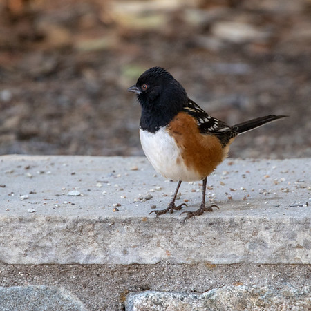 2020-12-13  Spotted Towhee
