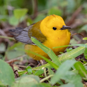 2020-04-22  Prothonotary Warbler