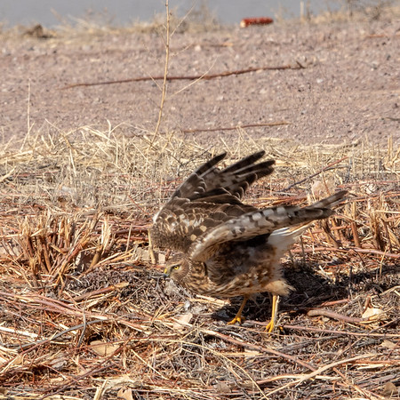 2020-01-17  Northern Harrier