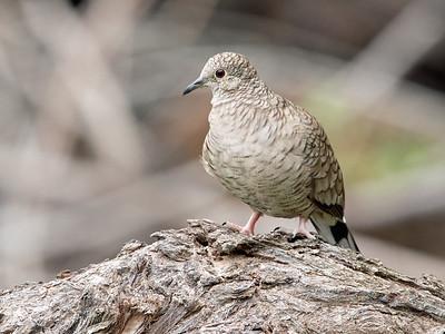 2017-04-10  Inca Dove