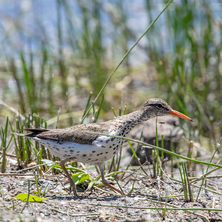 2020-06-13  Spotted Sandpiper
