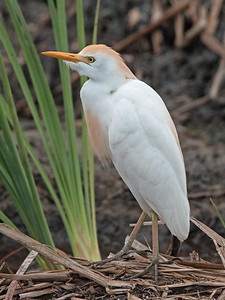 2017-04-12  Cattle Egret