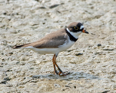 2020-04-22  Semipalmated Plover