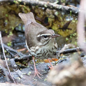 2017-04-10  Louisiana Waterthrush