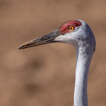2020-01-17  Sandhill Crane