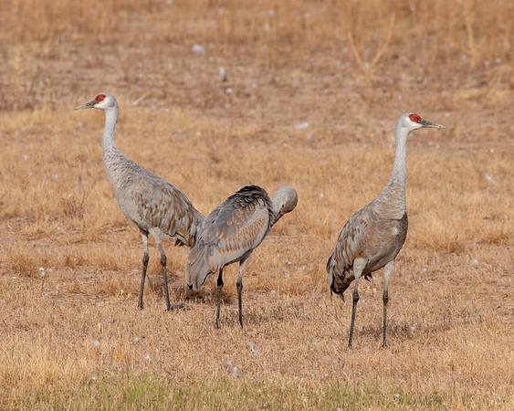 2020-10-31  Sandhill Crane