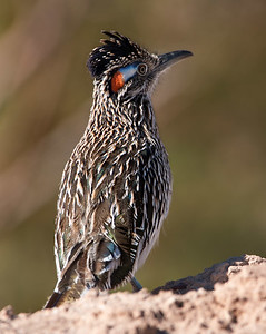 2017-01-29  Greater Roadrunner