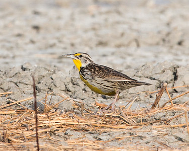 2018-01-14  Western Meadowlark