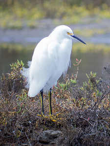 2016-11-26  Snowy Egret