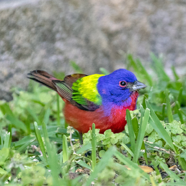 2019-04-20  Painted Bunting