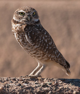 2017-01-29  Burrowing Owl
