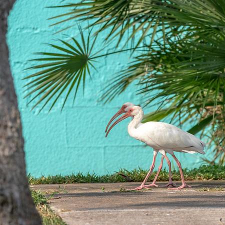 2020-10-13  White Ibis