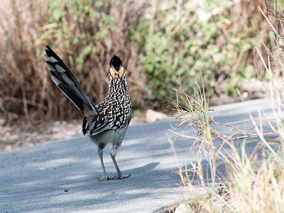 2017-04-13  Greater Roadrunner