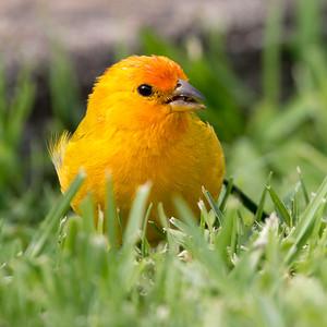 2018-04-15  Saffron Finch