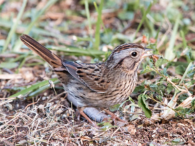 2017-04-13  Lincoln's Sparrow