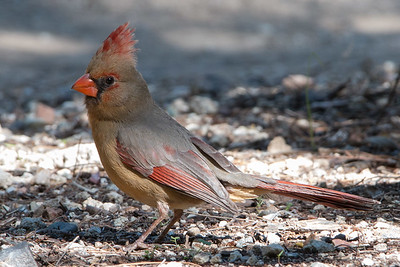 2017-02-04  Northern Cardinal (female)