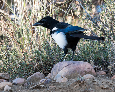 2017-09-16  Black-billed Magpie