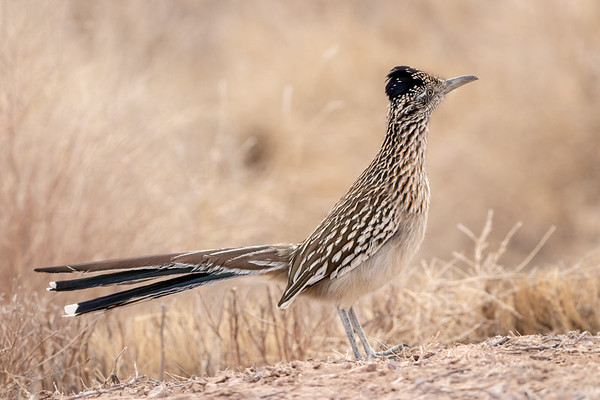 2020-01-20  Greater Roadrunner