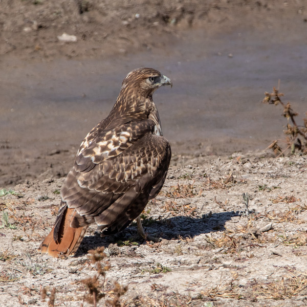 2019-10-12  Red-tailed Hawk