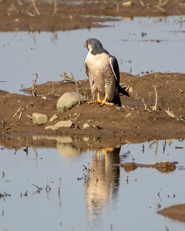 2019-01-12  Peregrine Falcon