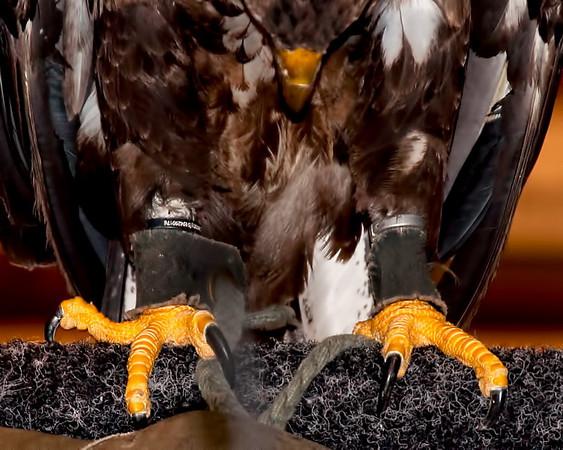 Talons; Imature Bald Eagle; Birds of Prey show Ottawa Exibition