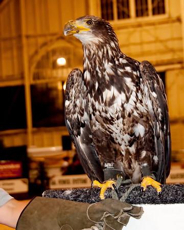 Imature Bald Eagle; Birds of Prey show Ottawa Exibition