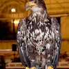 Imature Bald Eagle; Birds of Prey show Ottawa Exibition