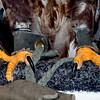 Talons; Imature Bald Eagle; Birds of Prey show Ottawa Exibition