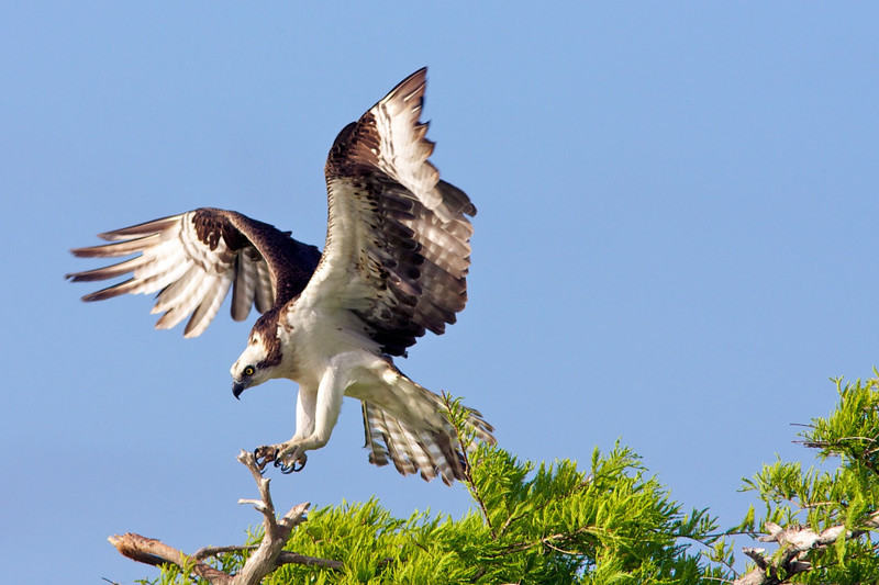 Osprey landing.