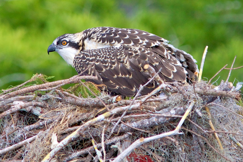 immature osprey on nest
