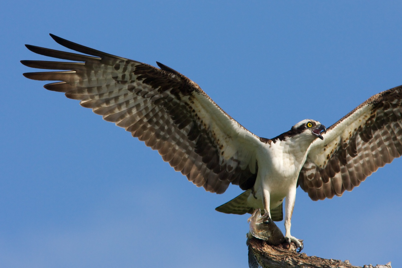 Close-up of Osprey with large fish in talons.
