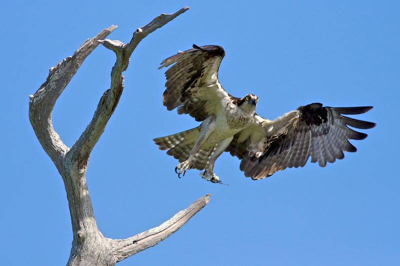 Adult osprey in flight.