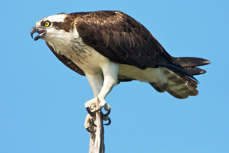 Adult Osprey on perch.